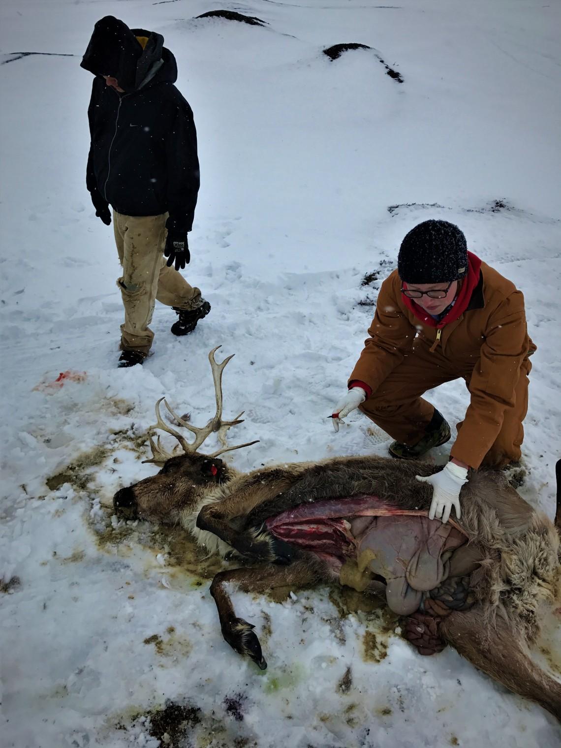Reindeer autopsy