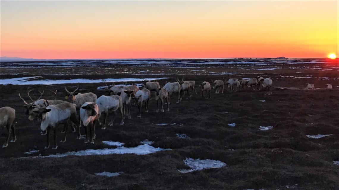 reindeer lineup