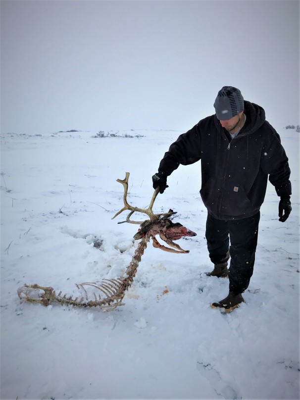 reindeer skeleton